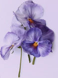 The Purple Pansy image